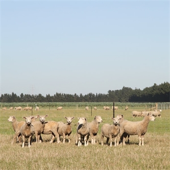 Making the most of novel endophyte: do best by your stock