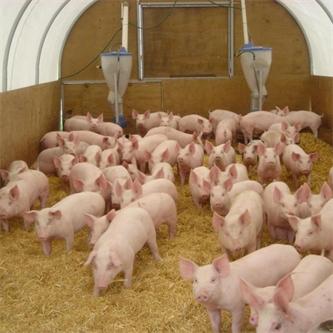 Protecting NZ piggeries