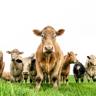 Beef Genetics Add Value to Dairy Beef