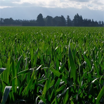 Catch cropping to reduce nitrate leaching