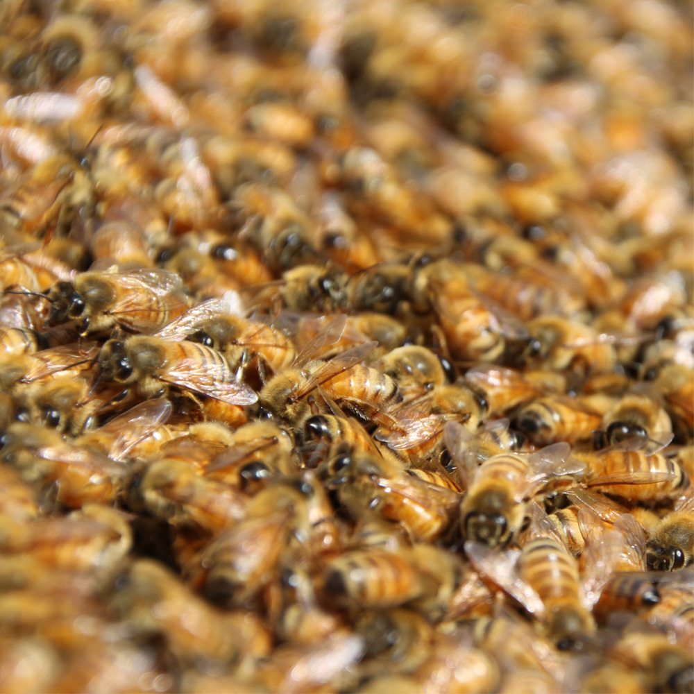 Bees keep agri economy flying